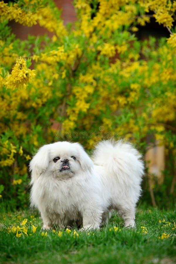 Free Peking Dog Royalty Free Stock Photos - 7045768
