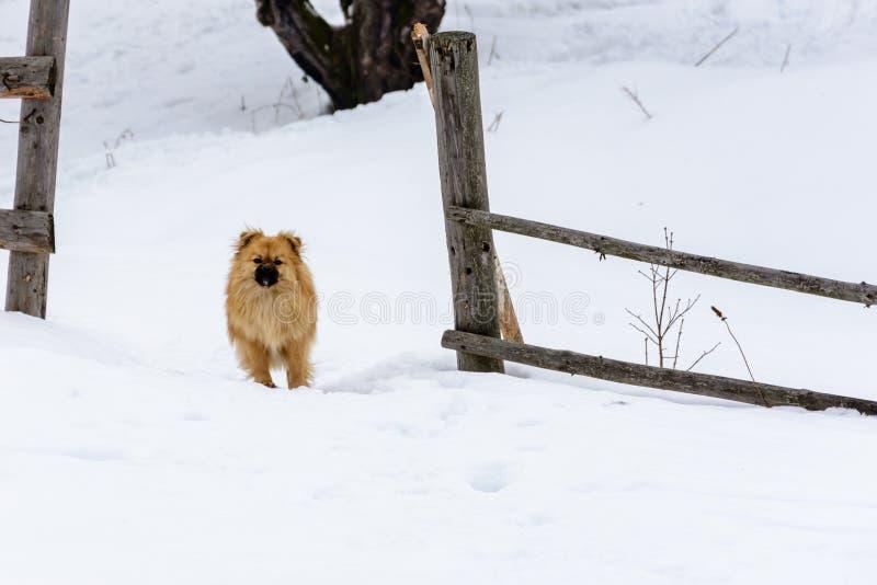 Pekingese прекрасное милое положение собаки на снежном снеге около загоро стоковое фото rf