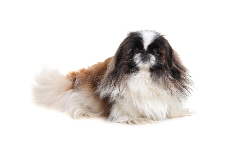 pekingese fotos de stock royalty free