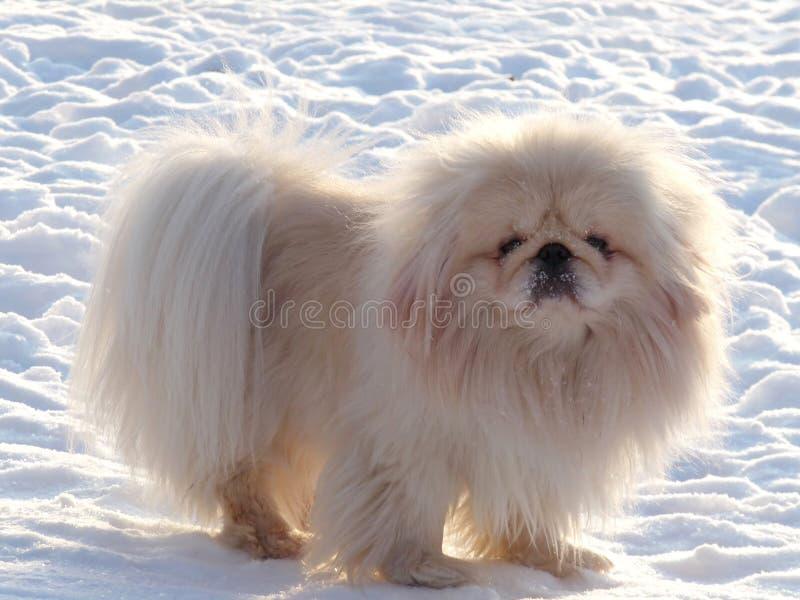Pekingese branco na neve branca imagens de stock royalty free