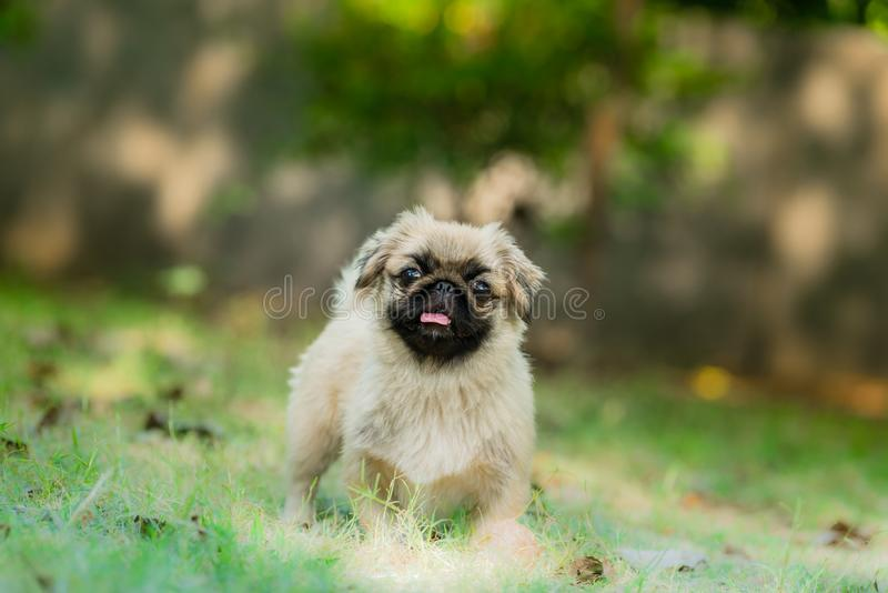 Pekingese breed of dog standing. The Pekingese is an ancient breed of toy dog, originating in China standing in isolated green background royalty free stock photos