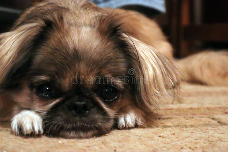 Pekingese Dog resting on the floor stock photography