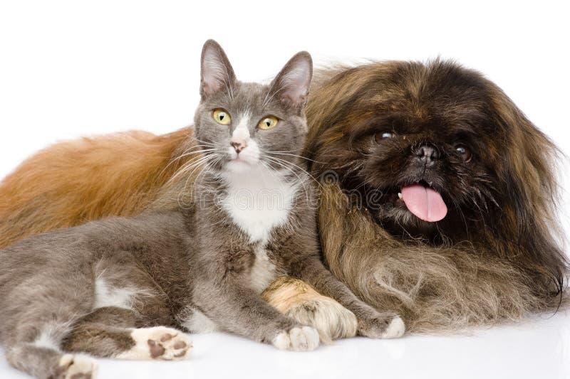 Pekingese dog and cat together. isolated on white background.  royalty free stock image
