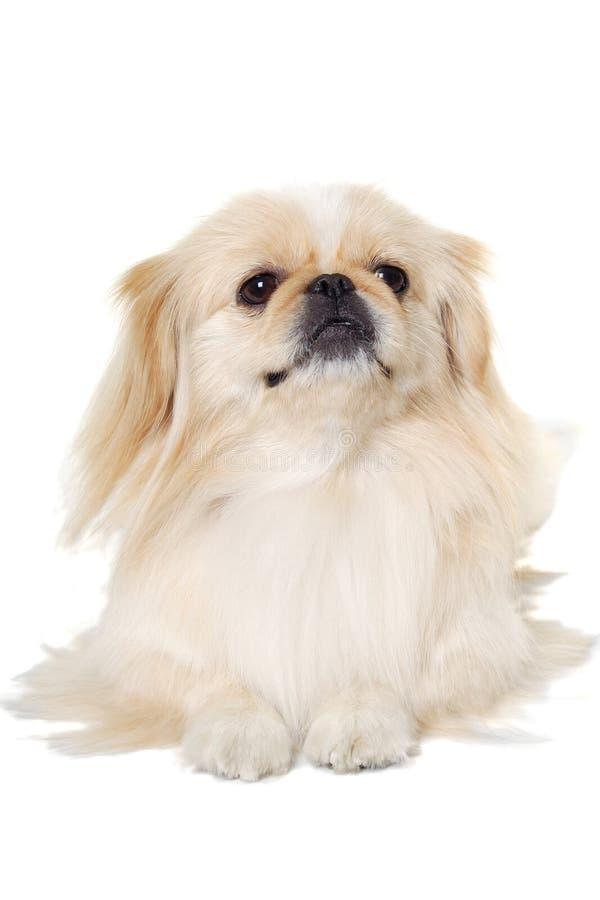 Pekingese dog isolated on a white background royalty free stock photos