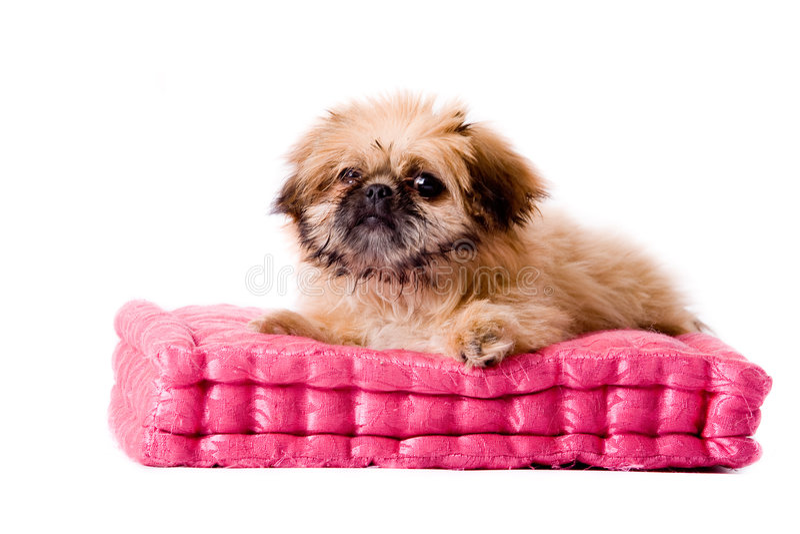 Pekingese dog laying on my pillow stock images