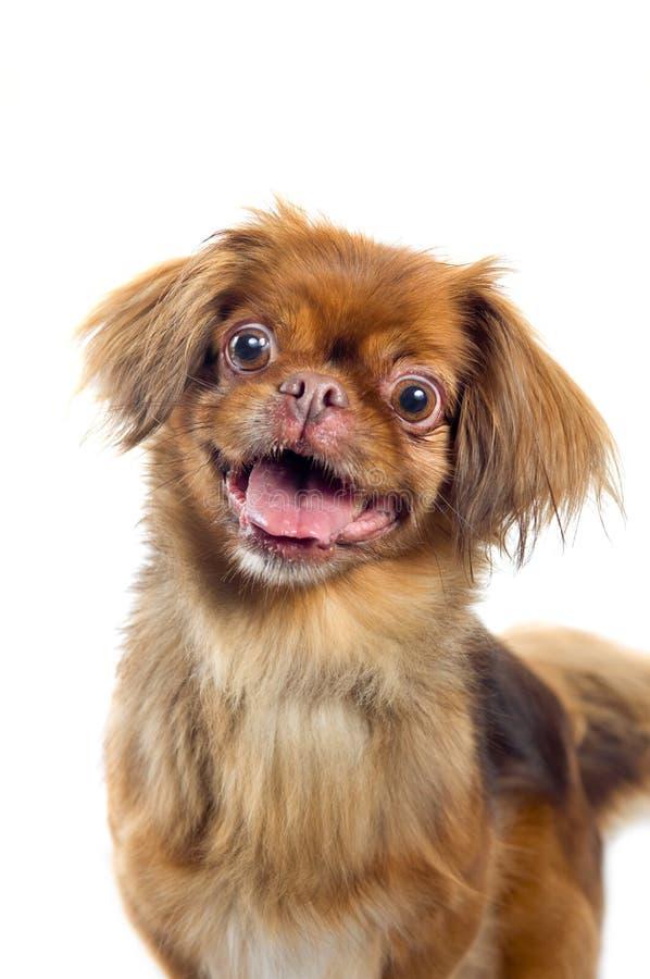 Pekingese dog portrait royalty free stock image