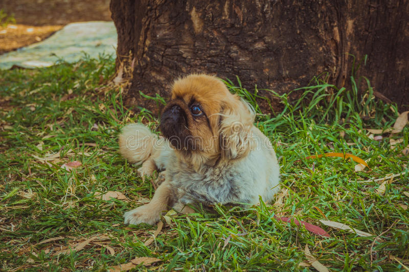 Pekingese dog resting on a grass under a tree outdoor stock photography
