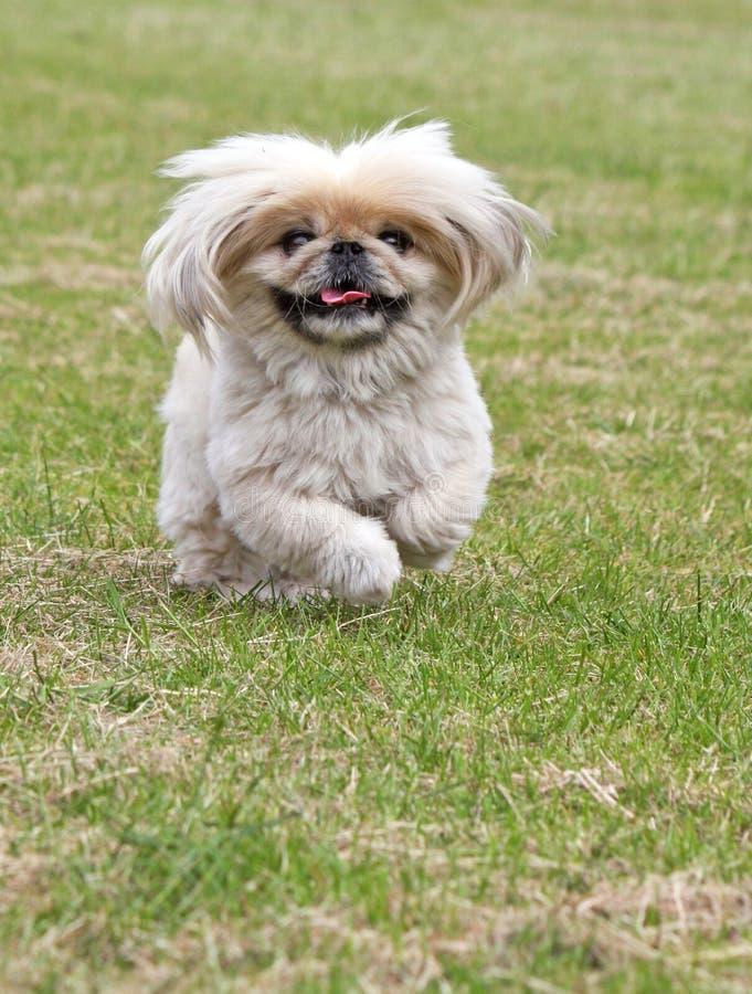 Pekingese dog running royalty free stock photography