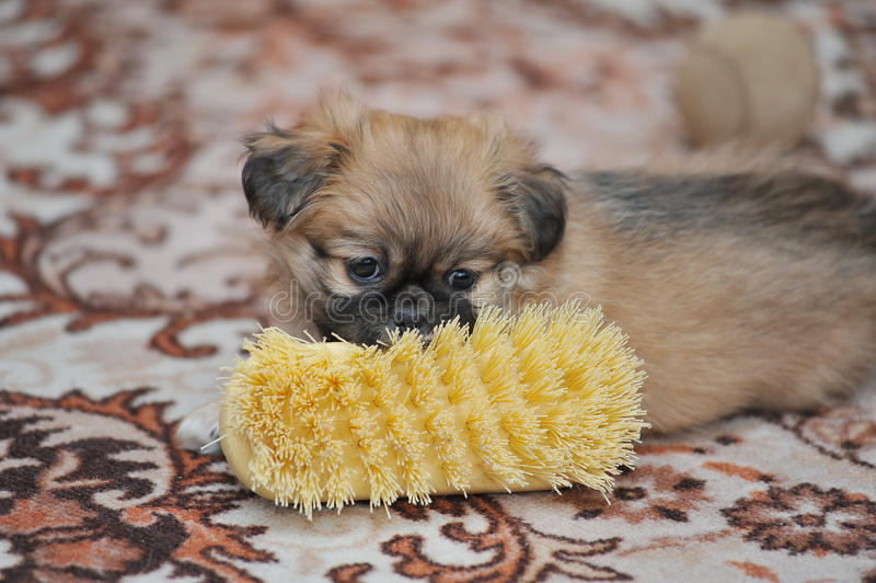 Pekingese dog running in the home royalty free stock photography