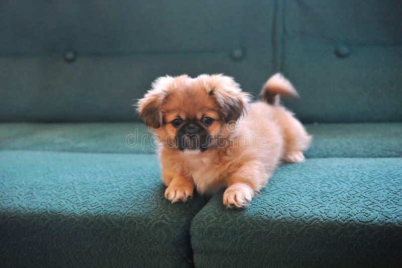 pekingese Hondmanier Mooie kleine gekleed en honden die stellen stock foto's