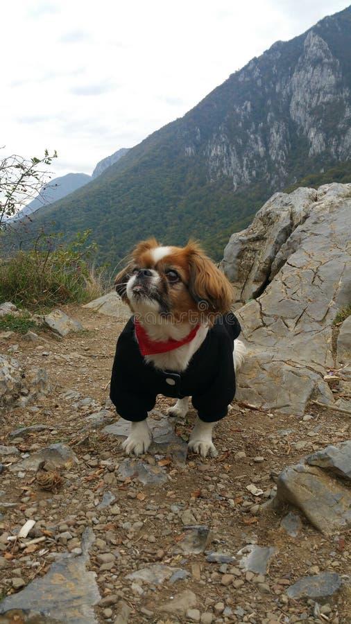 pekingese hund royaltyfri fotografi