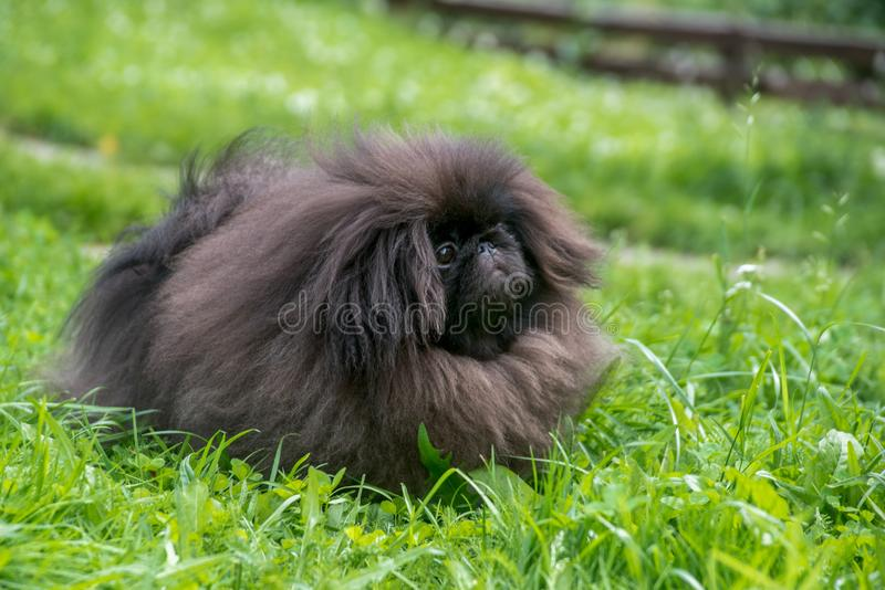 Pekingese hundsammanträde för gullig svart valp på det gröna gräset royaltyfri fotografi