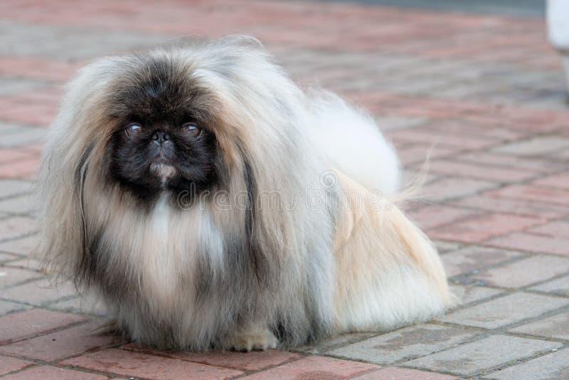 Pekingese, lwa pies, Peke obrazy stock