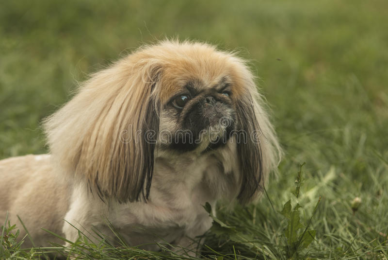 Download Pekingese stock image. Image of friend, peke, small, animal - 34328419