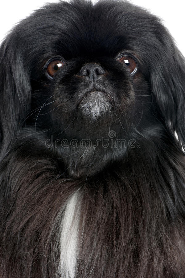 Pekingese preto (6 anos velho) imagens de stock