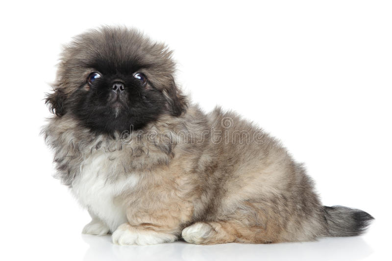 Pekingese puppy close-up portrait royalty free stock images