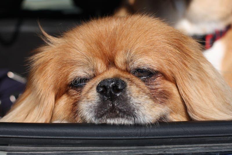 Pekingese stillstehender Kopf auf Autofenster lizenzfreie stockfotografie
