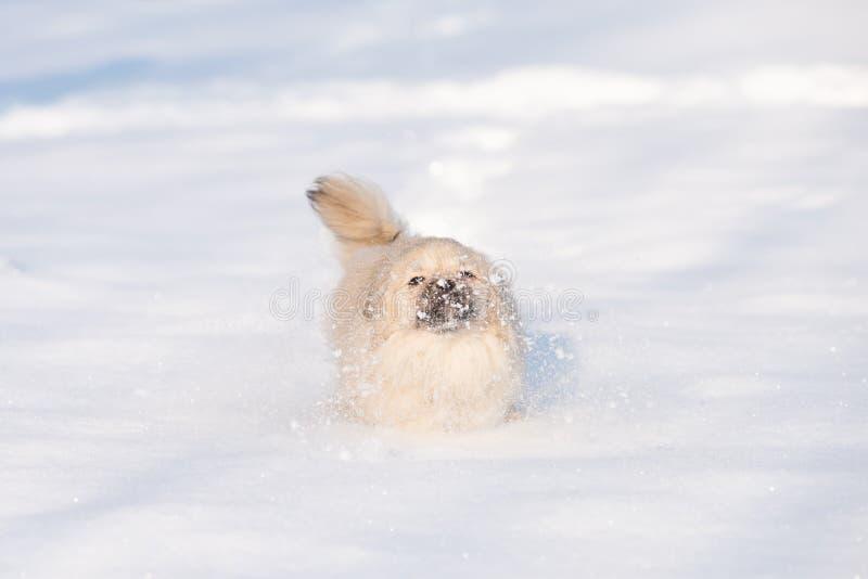 Pekingese szczeniak w śniegu zdjęcie royalty free