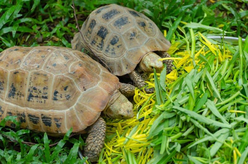 Pekschildpadden die groenten eten royalty-vrije stock fotografie