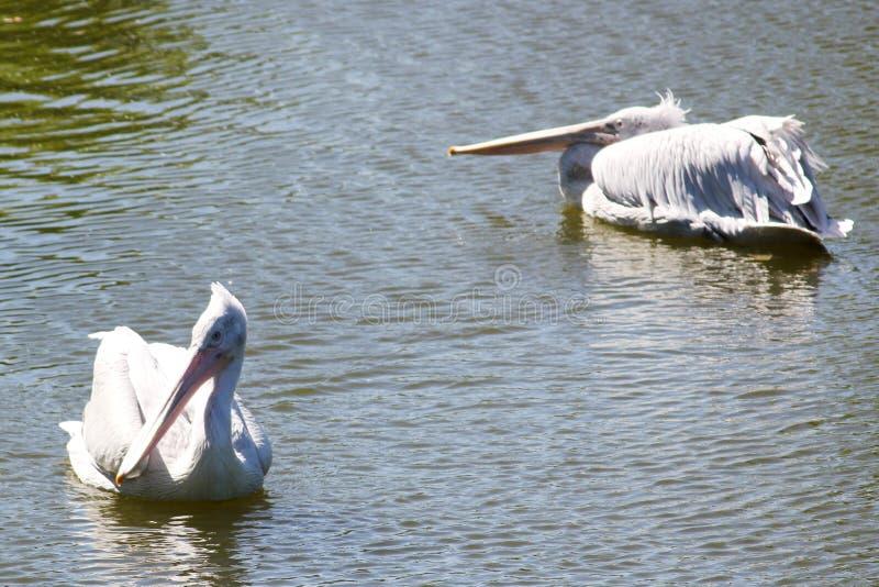 Pelícano blanco dos en el agua fotos de archivo libres de regalías