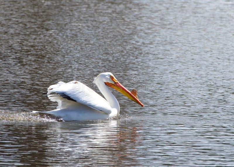 Pelícano blanco en la natación de la estación de la cría en un lago foto de archivo libre de regalías