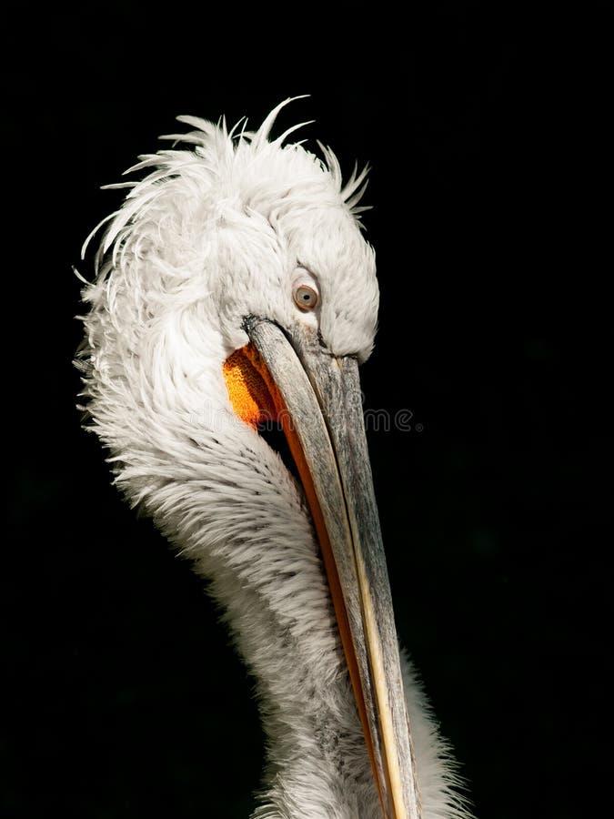 Pelícano blanco hermoso del od del retrato imagen de archivo libre de regalías