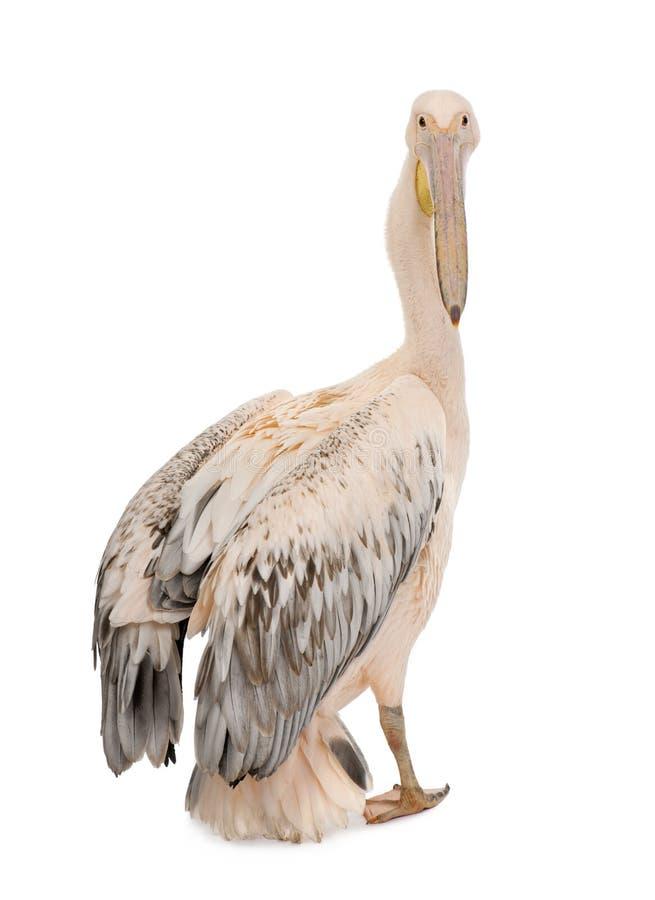 Pelícano blanco - onocrotalus del Pelecanus (18 meses) imagen de archivo libre de regalías