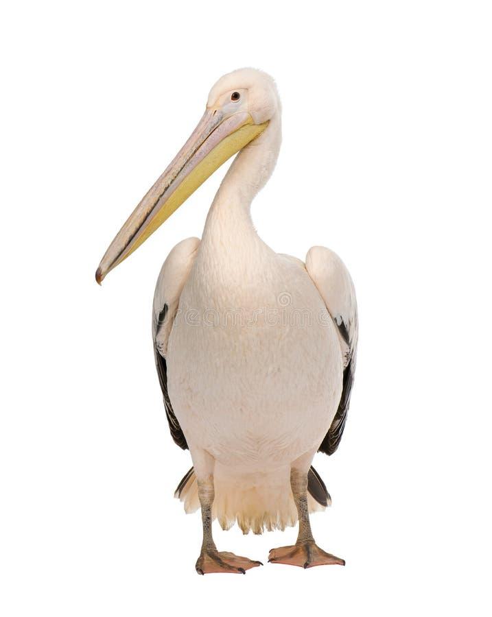 Pelícano blanco - onocrotalus del Pelecanus (18 meses) fotos de archivo libres de regalías
