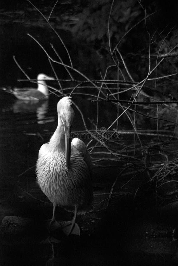 Pelícano blanco por el agua Foto blanco y negro de Pekín, China imagen de archivo libre de regalías
