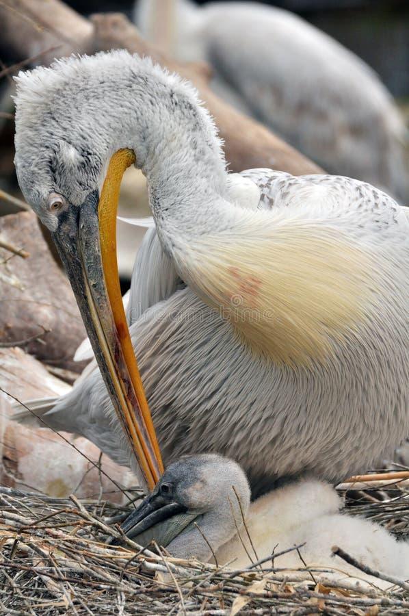 Pelícano con un polluelo fotografía de archivo libre de regalías