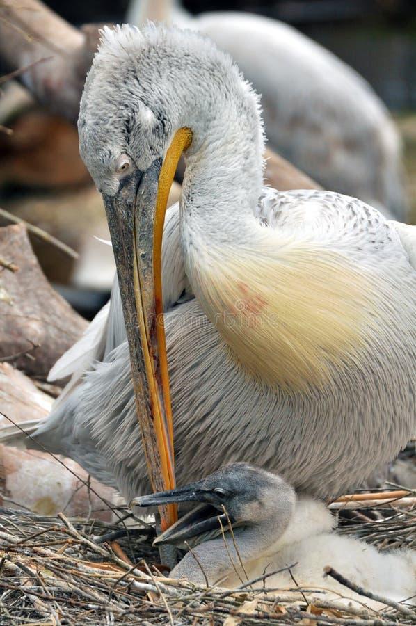 Pelícano con un polluelo imagen de archivo
