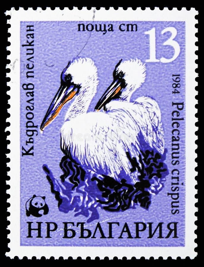 Pelícano dálmata (crispus) del Pelecanus, serie de los pelícanos de WWF, circa 1984 imagenes de archivo