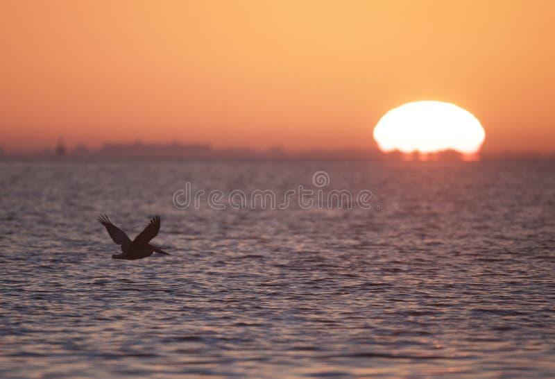 Pelícano de Brown en la salida del sol imagenes de archivo