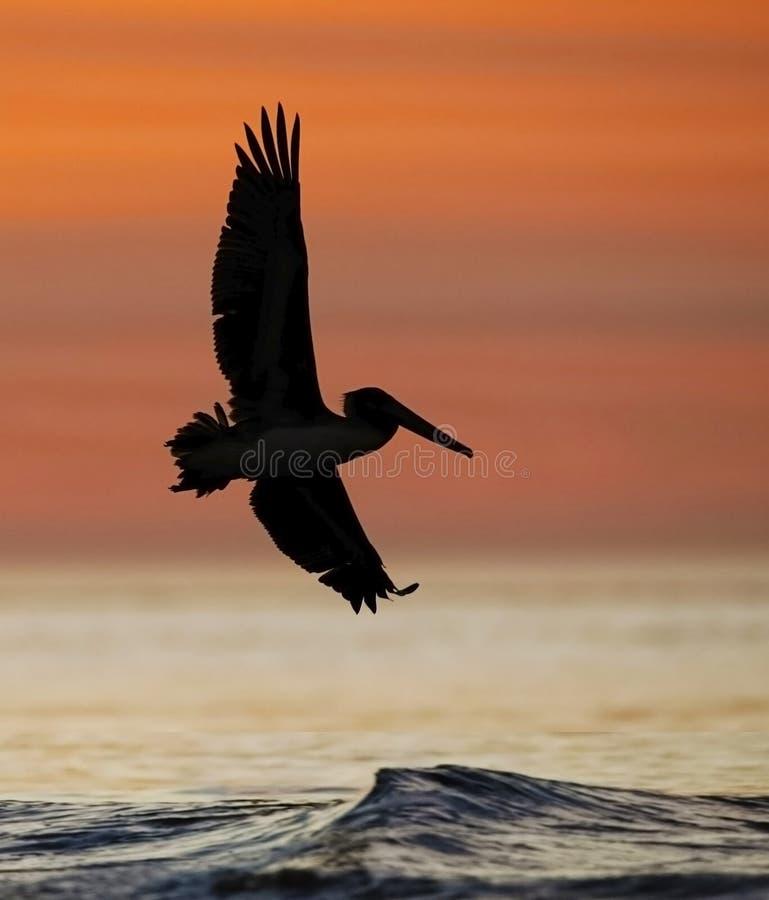 Pelícano de Brown en vuelo en la salida del sol - isla de Jekyll, Georgia imagenes de archivo