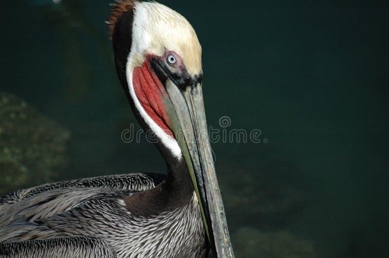 Pelícano de Cabo foto de archivo libre de regalías