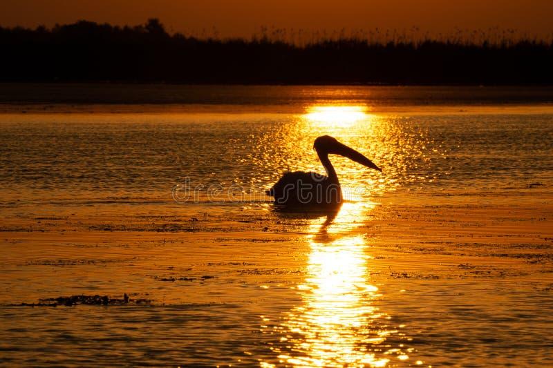 Pelícano del delta de Danubio en la salida del sol foto de archivo libre de regalías