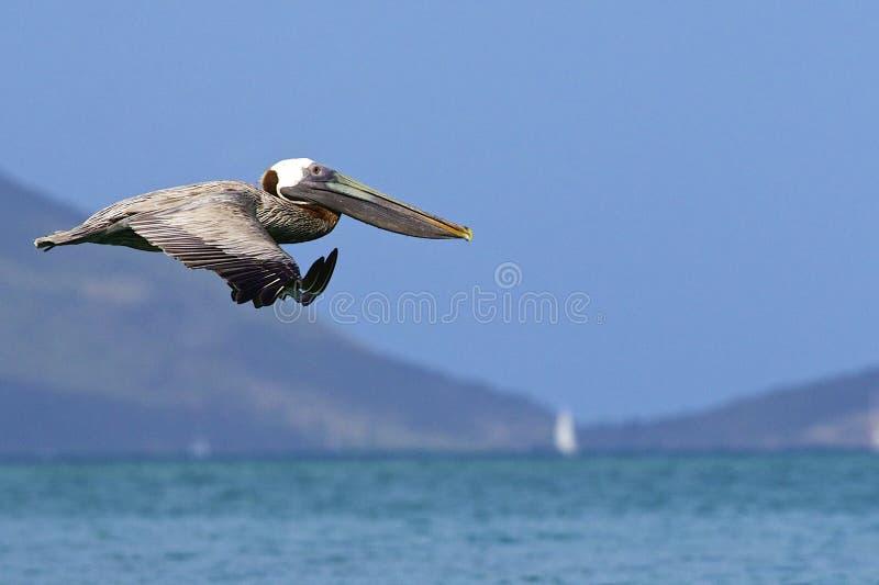 Pelícano en Cane Garden Bay en Tortola, del Caribe fotos de archivo libres de regalías