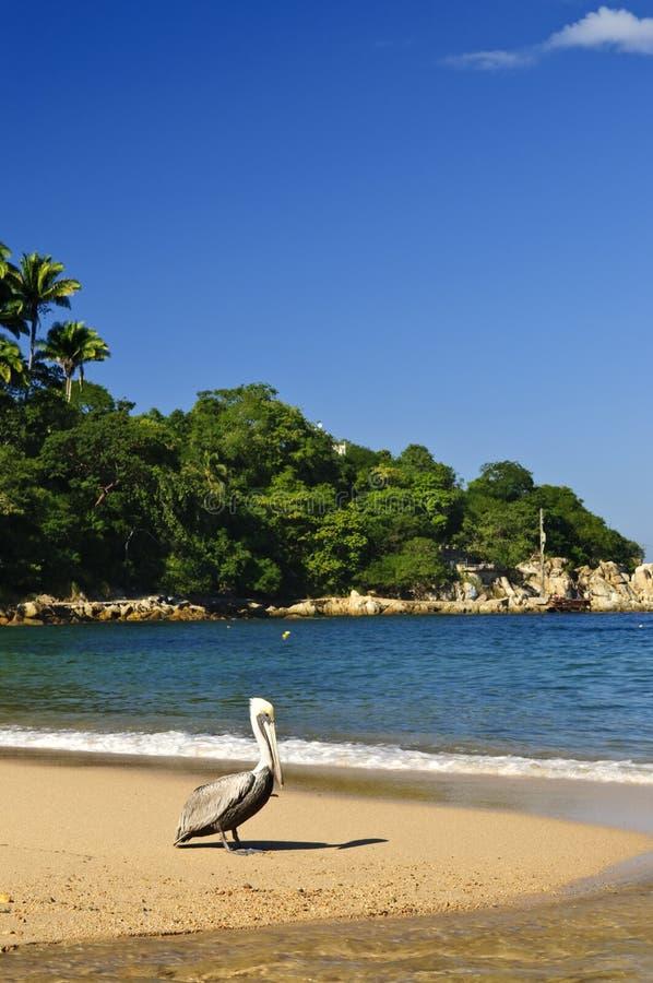 Pelícano en la playa en México imagen de archivo