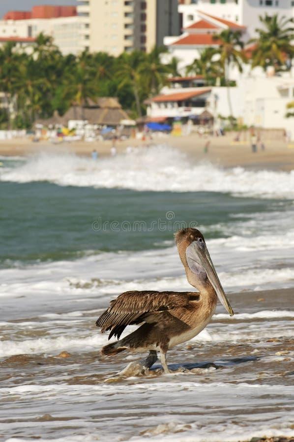 Pelícano en la playa en México fotografía de archivo libre de regalías