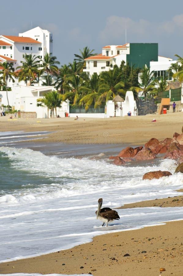 Pelícano en la playa en México fotos de archivo