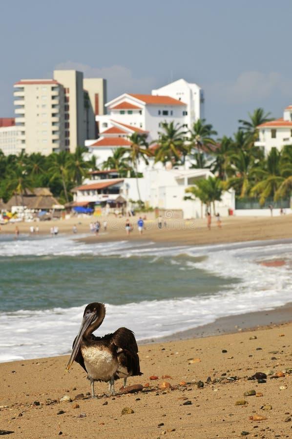 Pelícano en la playa en México imagenes de archivo