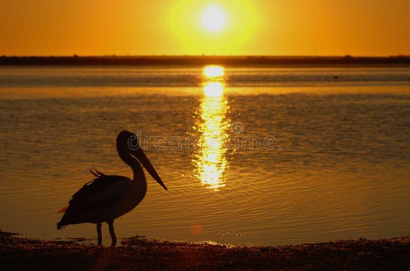 Pelícano en la puesta del sol fotos de archivo libres de regalías