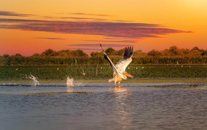 Pelícano en la puesta del sol que saca con un chapoteo del agua en el delta de Danubio foto de archivo