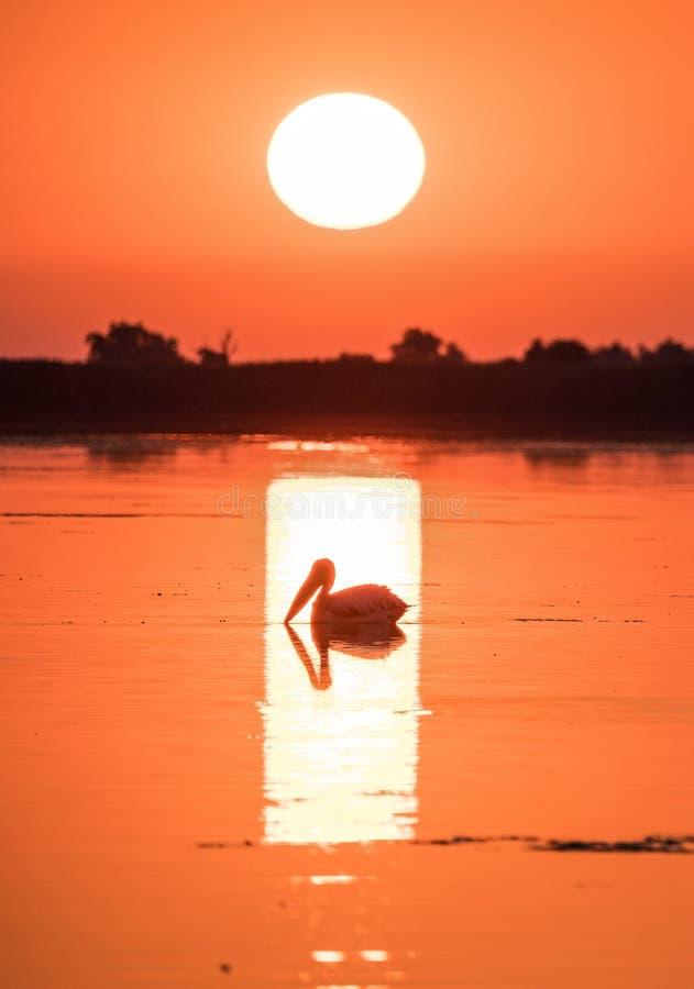 Pelícano en la salida del sol en el delta de Danubio, Rumania foto de archivo libre de regalías