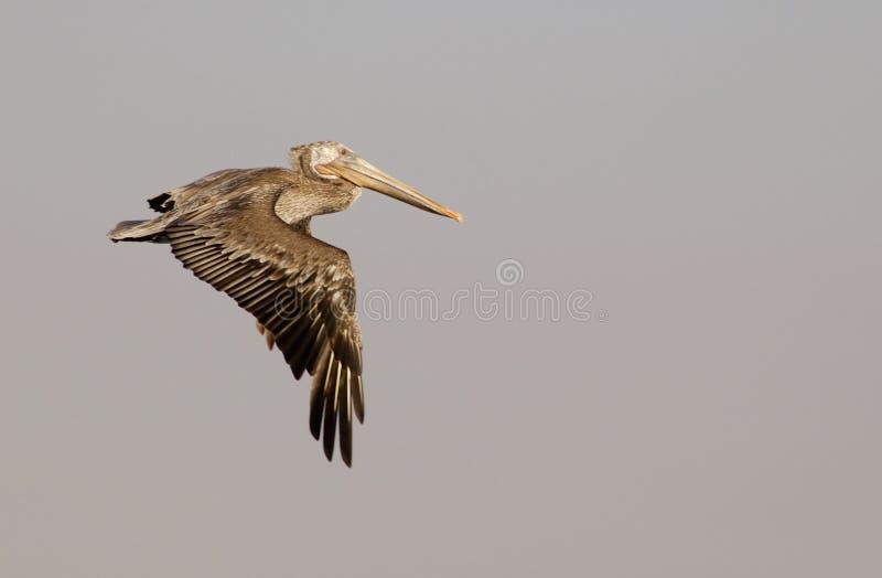 Pelícano en vuelo 3 de Brown fotografía de archivo