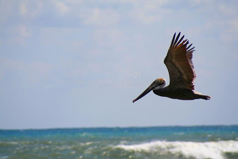 Pelícano en vuelo fotografía de archivo libre de regalías