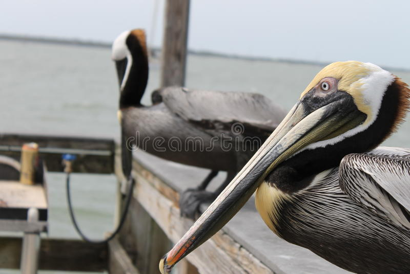 Pelícano, pájaros, hábitat natural, pájaros de la Florida, pájaros del embarcadero, muelle, puerto, pájaro foto de archivo