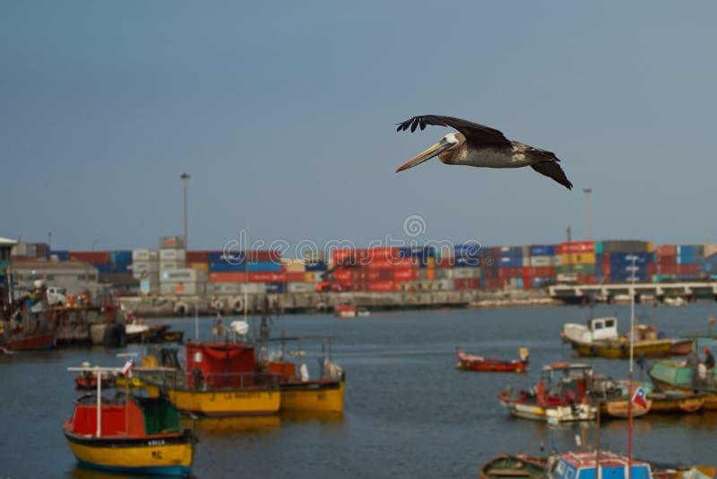 Pelícano peruano en vuelo foto de archivo libre de regalías