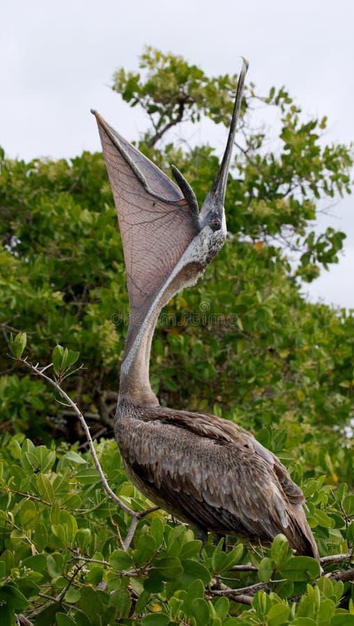 Pelícano que se sienta en un árbol del mangle seabirds Las islas de las Islas Gal3apagos ecuador fotografía de archivo