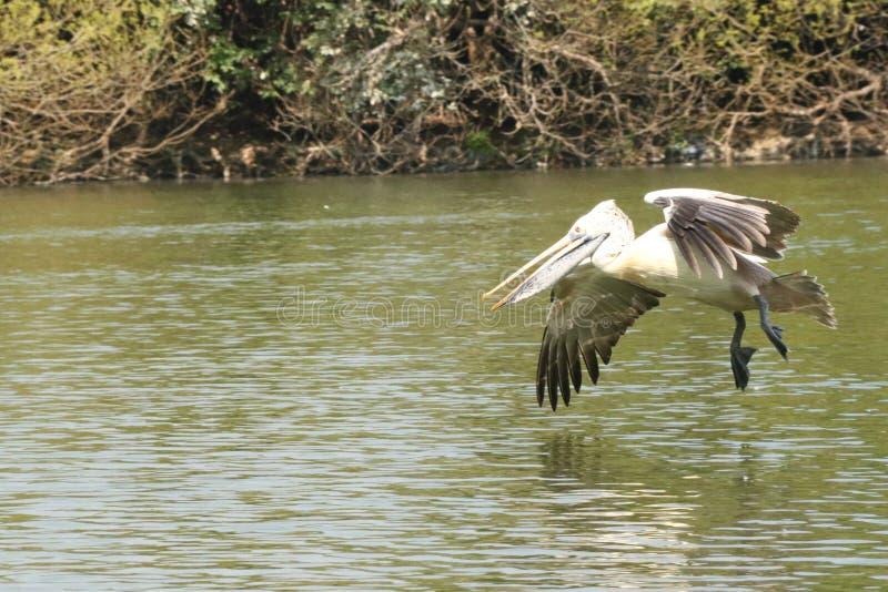 Pelícano swooping abajo en el refugio de aves de Raganathittu foto de archivo libre de regalías